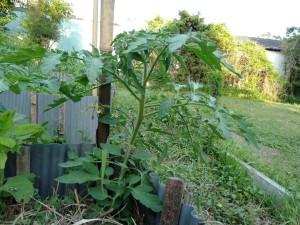 トマトもぐんぐん成長